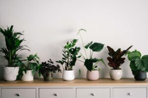 A variety of house plants sit in pots lined up on a chest of drawers